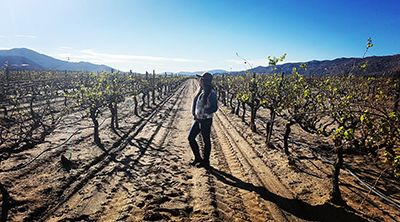Vineyards, Valle de Guadalupe, Ensenada, Baja California, Mexico